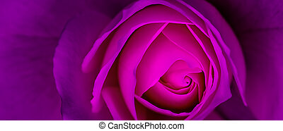 Abstract floral background, purple rose flower petals. Macro flowers backdrop for holiday design. Soft focus