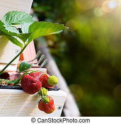 abstract fresh Fruit background; Strawberry on a green garden background