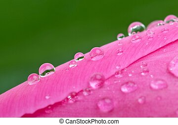 Waterdrops on the pink tulip's bud
