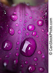 drops of dew on a purple flower leaf close-up
