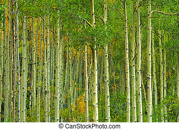 Abstract of an Aspen forest