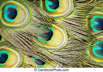 Abstract of peacock tail feathers
