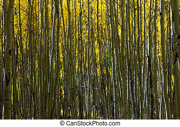 Abstract pattern of aspen tree trunks contrasted against golden yellow leaves.