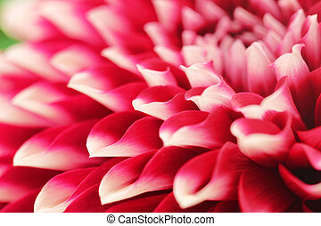 abstract photo of pink dahlia flower closeup(macro). This ...