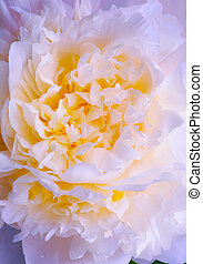 Abstract pink peony spring flower background