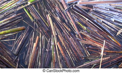 bulrush nature background - abstract water and bulrush...