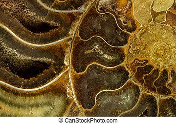 abstrakt, av, förstena, ammonit