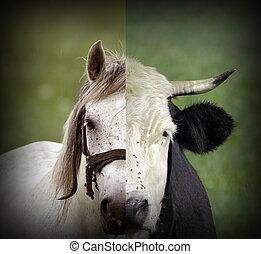 abstrakt, montage, von, kuh, und, pferd, köpfe