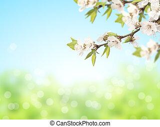 abstrakt, solig, fläck, fjäder, bakgrund, med, blomningen, av, körsbär
