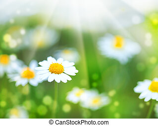 abstrakt, sommer, baggrunde, hos, bellis, blomster