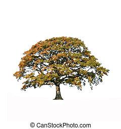 abstratos, árvore carvalho, em, outono
