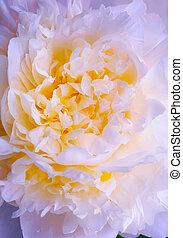 abstratos, cor-de-rosa, peony, flor mola, fundo