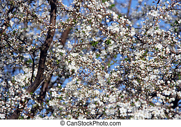 abstratos, fundo, -, árvore cereja, preparar, para, flor, sobre, céu