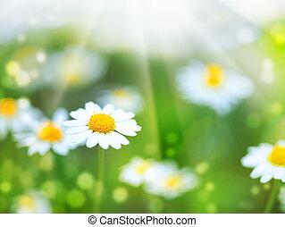 abstratos, verão, fundos, com, margarida, flores
