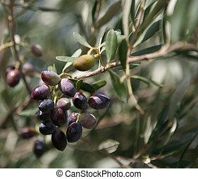 Abundance of olives - An abundant crop of black olives...