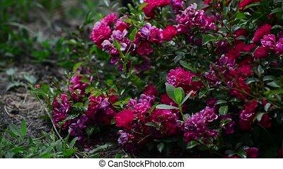 Abundantly the flowering bush of pink rose