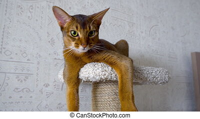 Abyssinian cat at pedestal - Abyssinian cat resting on the...