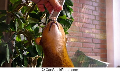 Abyssinian cat eat cream soup - Abyssinian cat eat delicacy...