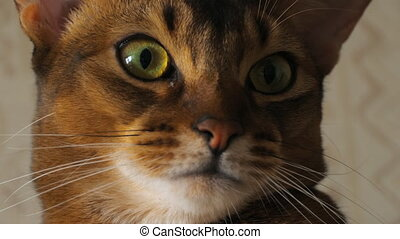 Abyssinian cat portrait - Abyssinian cat sitting on the...