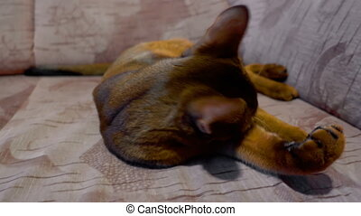 Abyssinian cat washes and yawning