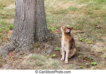 Abyssinian cat watching for birds in a tree