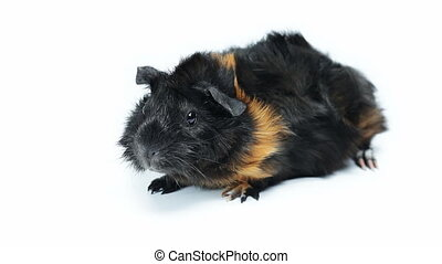 Abyssinian guinea pig against white