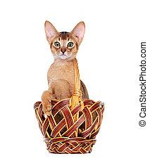 abyssinian kitten sitting in a small basket