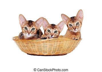 abyssinian kitties sitting in a basket