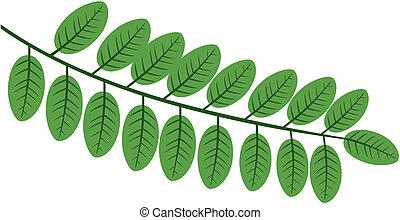 Acacia - acacia  leaf