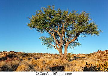 Albero acacia africano bello hwange africa nazionale for Acacia albero