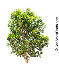 Acacia auriculiformis, commonly known as Auri, Earleaf acacia, E