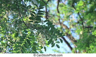 acacia branch with flowers