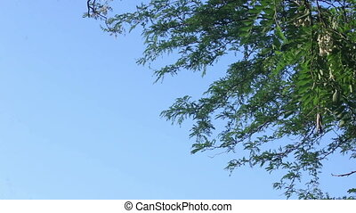 Acacia branches background