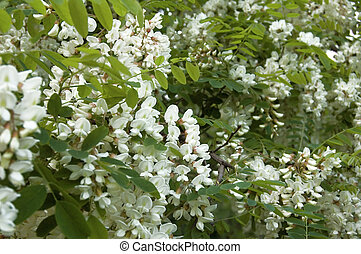 Acacia - Details shot of cacia flowers of acacia tree