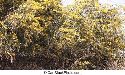 Acacia farnesiana, Mimosa