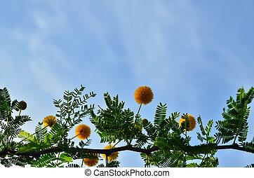 Acacia flowers and blue sky