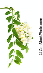 Acacia flowers with leafs on white