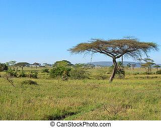Acacia in the african savanna, Serengeti park, Tanzania -...