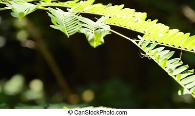 acacia leaf panning and tilt up camera to tree top in garden