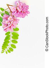 acacia pink flowers- Robinia hispida