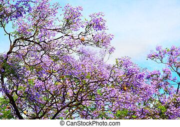 Acacia - The spring bloom of acacia