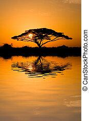 Acacia Tree at Sunrise - Beautiful african sunrise reflected...
