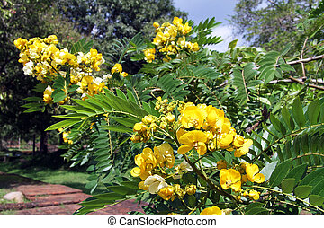 Branch of acacia tree with yellow flowers