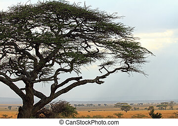 Acacia Tree Frames Savannah