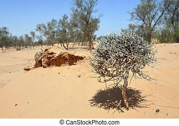 Acacia Tree in Desert
