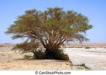 Acacia tree in the desert