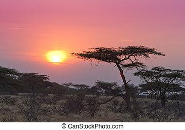 acacia tree, ondergaande zon , kenia
