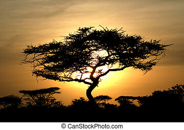 Acacia Tree Sunset, Serengeti, Africa