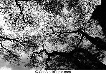 Acacia tree tops silhouette