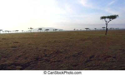 acacia trees in savanna at africa